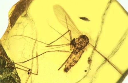 Комар Culex malariager возрастом 15-20 млн лет, инфицированный Plasmodium dominicana