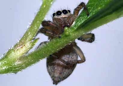 Самка паука Maevia inclemens пьет нектар