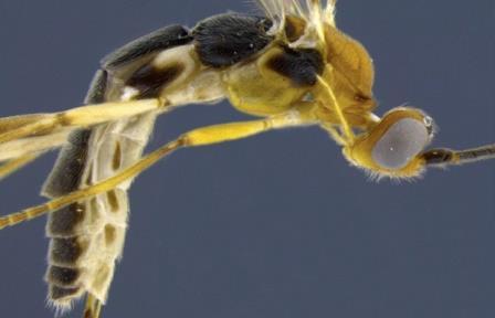 Новый вид осы Aleiodes shakirae