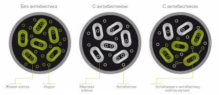 Слева: в среде без антибиотика бактерии постоянно синтезируют индол. В середине: под действием вызванного антибиотиком стресса бактерии перестают вырабатывать индол и умирают. Справа: устойчивые к антибиотикам мутантные клетки быстро избавляются от антибиотика и продолжает синтез индола.