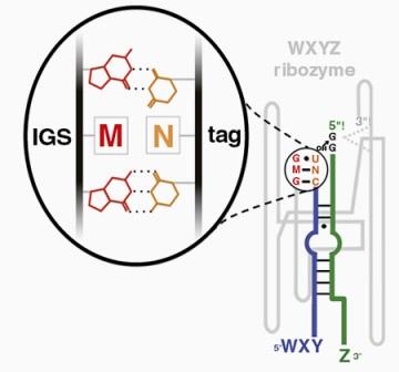 Взаимодействие между последовательностями различных фрагментов рибозима с помощью водородных связей