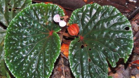 Begonia ruthiae – один из более 90 видов бегоний, описанных учеными в 2015 году.