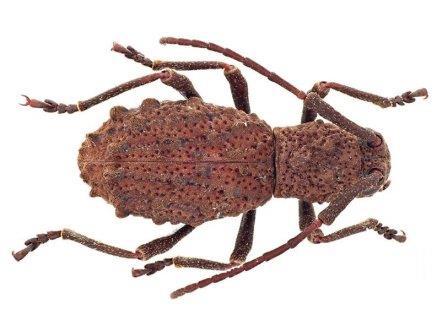 Самка жука Borneostyrax cristatus