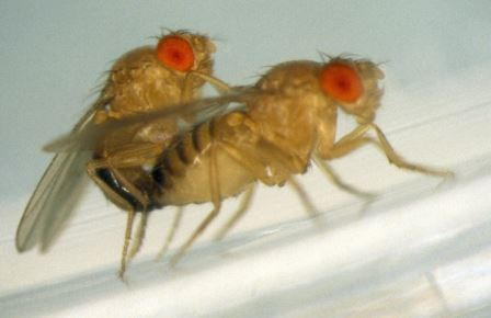 Спаривающиеся плодовые мушки Drosophila melanogaster© Image Editor