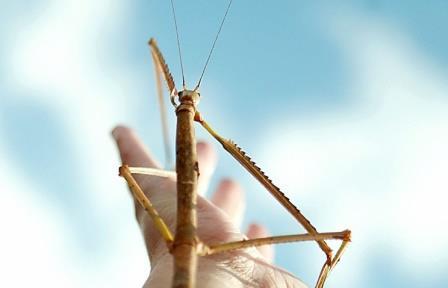В Китае обнаружено самое длинное насекомое в мире - палочник длиной более 62 см