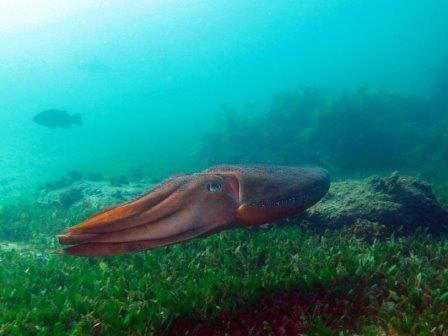 Гигантская австралийская каракатица (Sepia apama)
