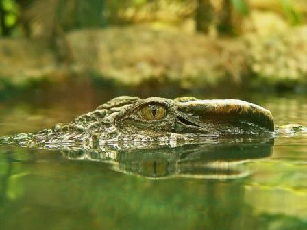 Глаза крокодилов назвали идеальными для скрытной охоты