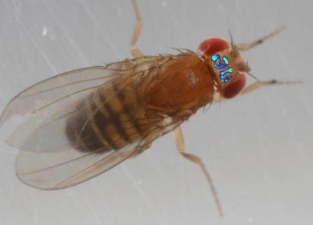 Ученые заглянули в мозг свободно движущейся и спаривающейся мухи