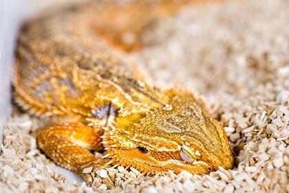 Биологи узнали о снах рептилий