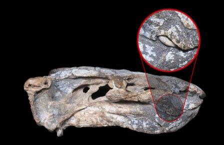 В Бразилии нашли дицинодонта со сверхкороткими клыками