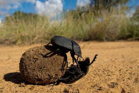 Жук-скарабей защищает навозный шар от соперника