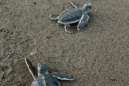 Две зеленые морские черепашки