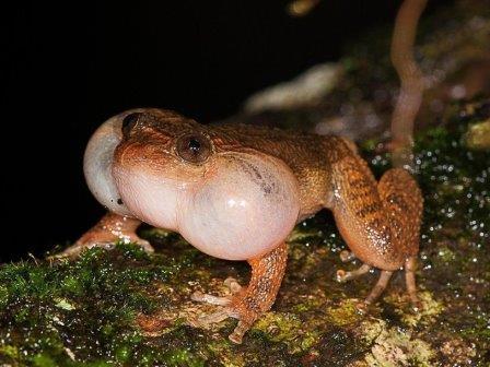 Самец бомбейской ночной лягушки издает брачный призыв