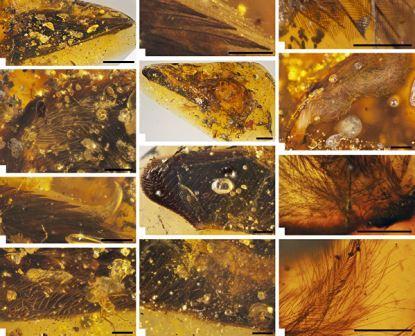 Перья, когти и кожа древней птицы, заточенные в янтаре