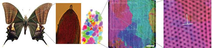Чешуйки на крыльях Teinopalpus imperialis состоят из «высокоориентированных» фотонных кристаллов