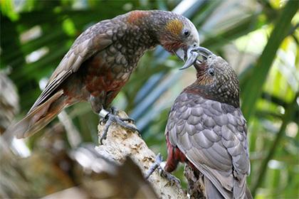 Кака (Nestor meridionalis)