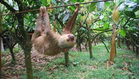 Ученые выяснили, почему ленивцы стали ленивыми