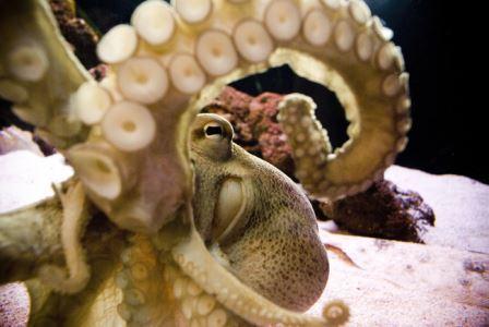 Осьминоги и другие головоногие различают цвета, несмотря на монохромное зрение
