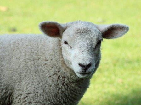 «Потомки» Долли доказали, что клонированные овцы живут не меньше остальных