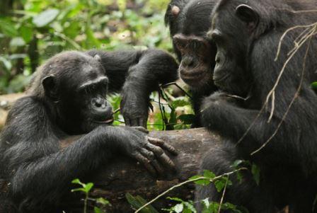 Шимпанзе в поисках меда