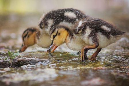 Новорожденные утята без обучения отличают одинаковые и разные предметы