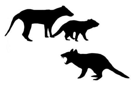 Сопоставление размеров сумчатого волка и тасманийского дьявола (сверху) и нового плотоядного сумчатого (внизу)