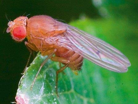 Drosophila simulans