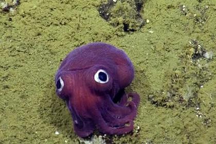 На дне океана обнаружили фиолетового кальмара-коротышку
