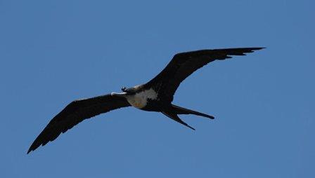 Птица-фрегат с датчиком активности мозга на ее голове