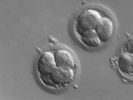 Эмбрионы, полученные при помощи экстракорпорального оплодотворения