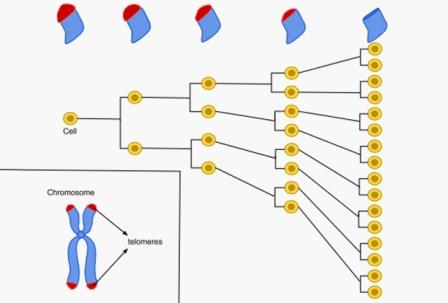 Предел Хейфлика, ограничивающий деление соматических клеток