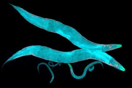 Caenorhabditis elegans© Heiti Paves