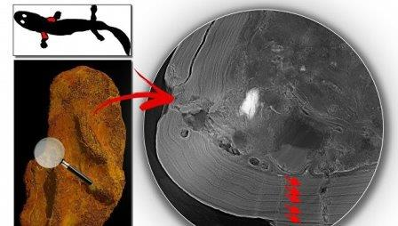 Кость лапы акантостеги, просвеченная при помощи рентгена