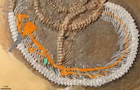 Ископаемая матрешка: жук в ящерице, ящерица в змее