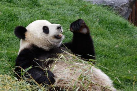 Панды больше не вымирают