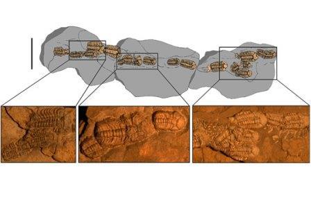 Походная колонна трилобитов Trimerocephalus chopini