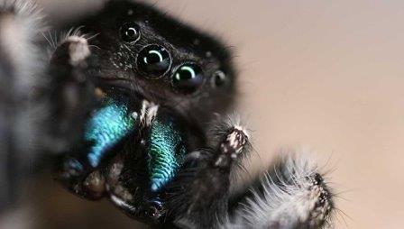 Паук-скакун, у которого ученые нашли аналог паучьего чутья