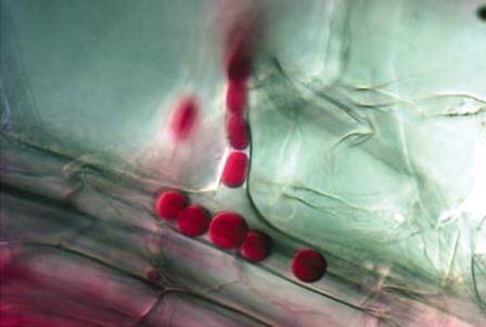 Споры гриба Piriformospora indica в корнях ячменя