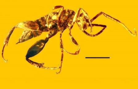 Aptenoperissus burmanicus