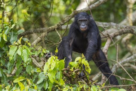 Бонобо Pan paniscus