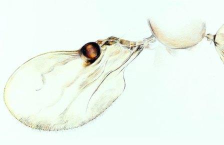 Округлый карман-испаритель феромонов на крыле Camptopterohelea odora