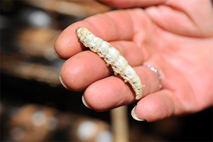Сверхпрочную паутину изготовили из наевшихся графеном черв