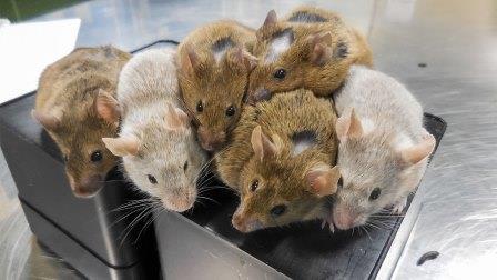 Мыши, появившиеся на свет из созданных в лаборатории яйцеклеток
