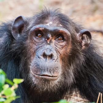 Эта самка шимпанзе заработала травму в драке за место в иерархии.