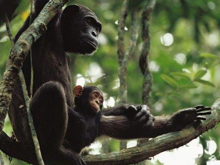 Процесс обучения молодых шимпанзе сняли на видео