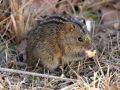 Африканская полосатая мышь