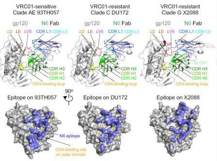 """Антитело N6, нейтрализующее """"неуязвимые"""" разновидности ВИЧ"""