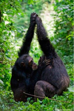 Шимпанзе занимаются грумингом, сцепив поднятые руки