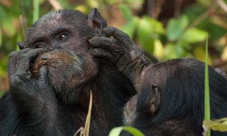 Шимпанзе в Гомбе