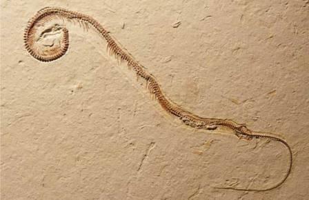Tetrapodophis amplectus